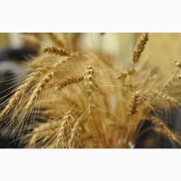 Семена оз пшеницы мягкой (элита, репродукция)