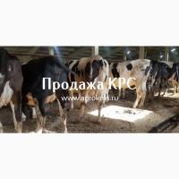 Продажа КРС оптом по России странам Молочные породы КРС Продажа племенных нетелей