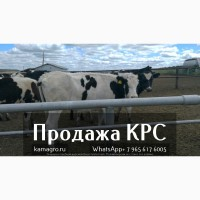 Продажа коров дойных, нетелей молочных пород в Азербайджане