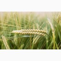 Семена Ячменя Ярового к посевной 2021