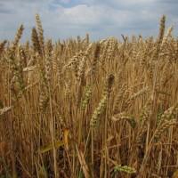 Семена озимой пшеницы «Безостая 100» ОТ ПРОИЗВОДИТЕЛЯ