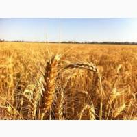 Озимая пшеница 4 кл 500 тонн