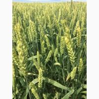 Семена озимой мягкой пшеницы сорт Донская Юбилейная ЭС