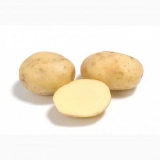 Картофель сорт Коломбо-РС1 от 20т
