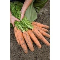 Семена моркови Абако f1.(100000 шт.) 2, 0-2, 2