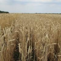Семена озимой пшеницы «Льговская 4» ЭЛИТА ОТ ПРОИЗВОДИТЕЛЯ