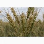 Продаем семена яровой мягкой пшеницы