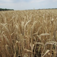 Семена озимой пшеницы «Скипетр» ОТ ПРОИЗВОДИТЕЛЯ