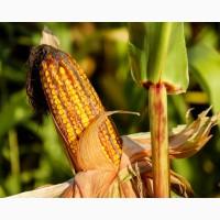 Семена кукурузы на посевную 2021