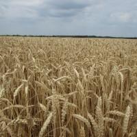 Семена озимой пшеницы «Снигурка» Суперэлита, Элита ОТ ПРОИЗВОДИТЕЛЯ
