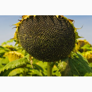 Семена подсолнечника гибрид Меркурий F1