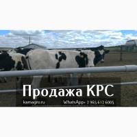 Продажа коров дойных, нетелей молочных пород в Армении