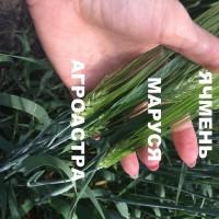 Семена озимого ячменя Маруся, Тимофей, Фокс 1, Ерема, Виват ЭС