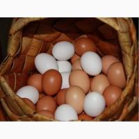 Продам оптом яйцо куриное