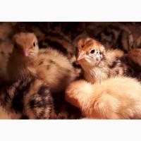 Цыплята перепелов в Новосибирске