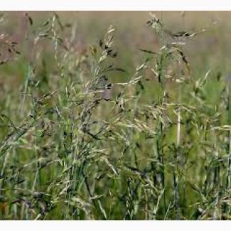 Продаем семена овсяницы луговой оптом и в розницу