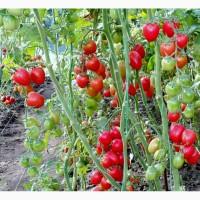 Семена томатов Черри Ликопа
