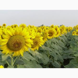 Продаем семена подсолнечника