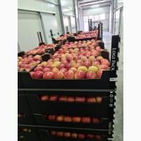 Яблоки оптом 1-2 категории