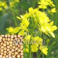 Продаем семена горчицы белой, желтой и черной оптом и в розницу на постоянной основе