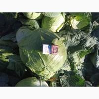 Продаю капусту белокочанную сорт Крауткайзер, Рамко