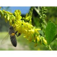 Продаем семена донника желтого оптом и в розницу на постоянной основе