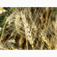 Семена озимой пшеницы на посевную 2021