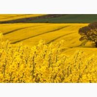 Продаем семена рапса ярового оптом и в розницу на постоянной основе