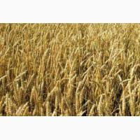 Закупаем семена пшеницы яровой на постоянной основе