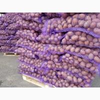 Картофель, морковь, свекла от производителя оптом в Брянске. Доставка по РФ. Экспорт