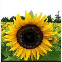 Семена подсолнечника гибрид Меркурий