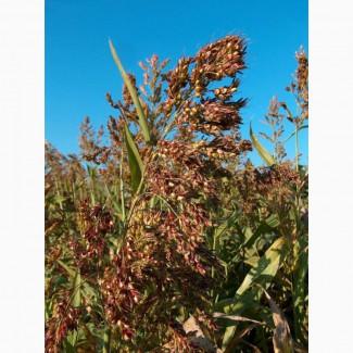 Продаем семена суданской травы оптом