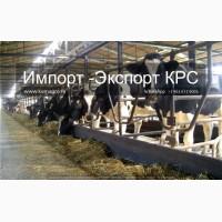 Продажа коров дойных, нетелей молочных пород в Кыргызстане