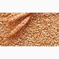 Закупаем зерно пшеницы полбы цельное до 400 тонн