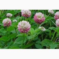 Продаем семена клевера гибридного (розового)