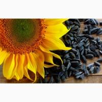 Сорта и гибриды подсолнечника