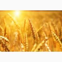 Продаю пшеницу 4 класса оптом от производителя. 14200 руб/тонна