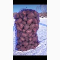 Продам картофель сорт Ред Скарлет