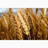 Семена пшеницы озимой (твердая)