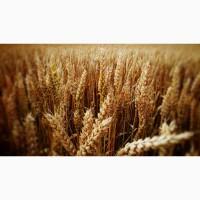 НОВИНКИ семян озимой пшеницы Донская степь, Жаворонок, Вольный Дон, Амбар, Вольница
