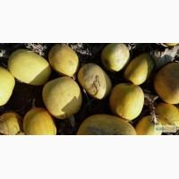 Семена тыквы. Сорт «Дамский ноготь» (Болгарка)