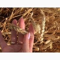 Семена озимой пшеницы сорт Веха ЭС/РС1/РС2