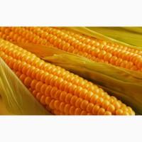 Семена кукурузы от производителя скидки