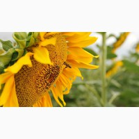 Семена подсолнечника раннеспелый сорт Бузулук