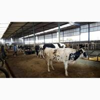 Продажа коров дойных, нетелей молочных пород в Молдавии
