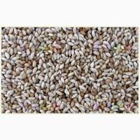 Семена тимофеевки луговой ВИК-66 ЭС, РС1, РСт