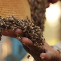 Пчелы и Матки