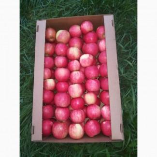 Яблоки Белорусские оптом