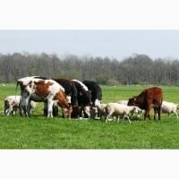 Продаю коров Казахской белоголовой породы живым весом на убой