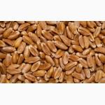 ООО «Атлантис»продает фуражную пшеницу